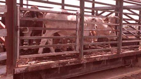 Cattle Weighbridge - SWIA Australia