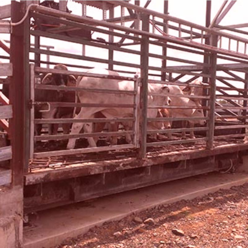 Cattle Weighbridge For Your Cattle Yards Swia Australia